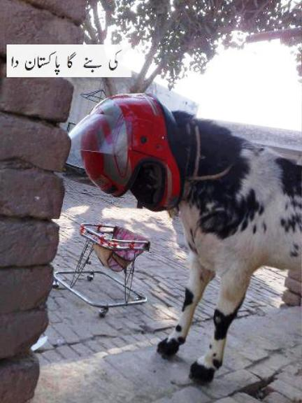 funny bakra eid eidequrban wallpapers photos pictures