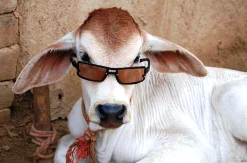 Bakra Eid-ul-Adha Mubarak Funny Picture Funny Pictures (2)