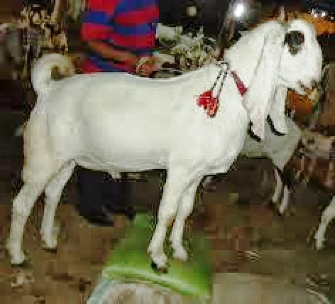 Bakra Eid-ul-Adha Mubarak Funny Picture Funny Pictures