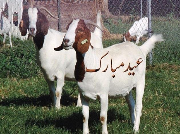 Bakra Mazahiya Bakra Bakra Mandi Funny Pictures (1)