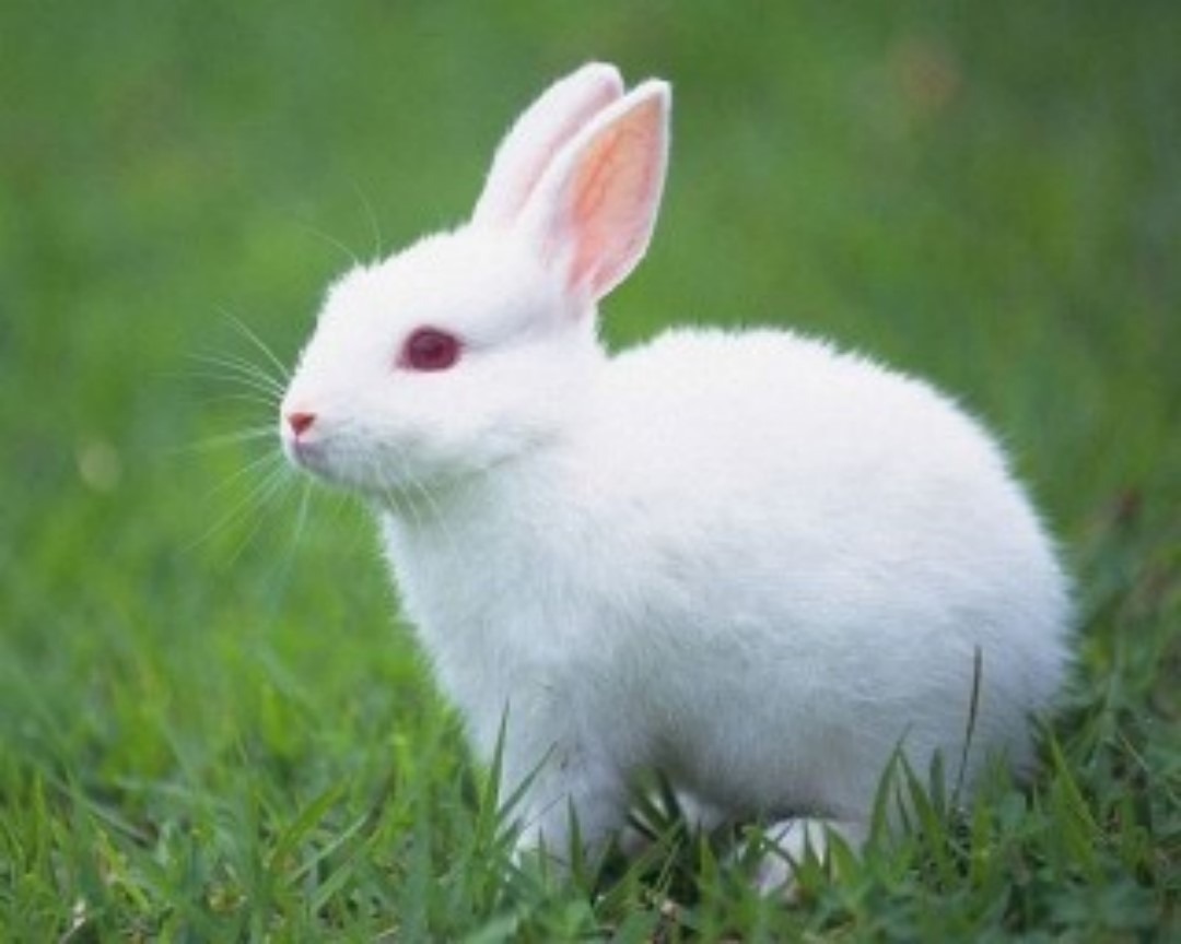 Cute Rabbit HD beautif...