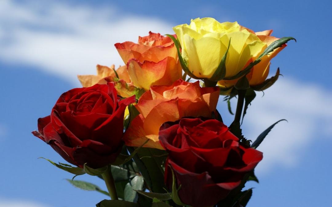Wallpaper rose flowers