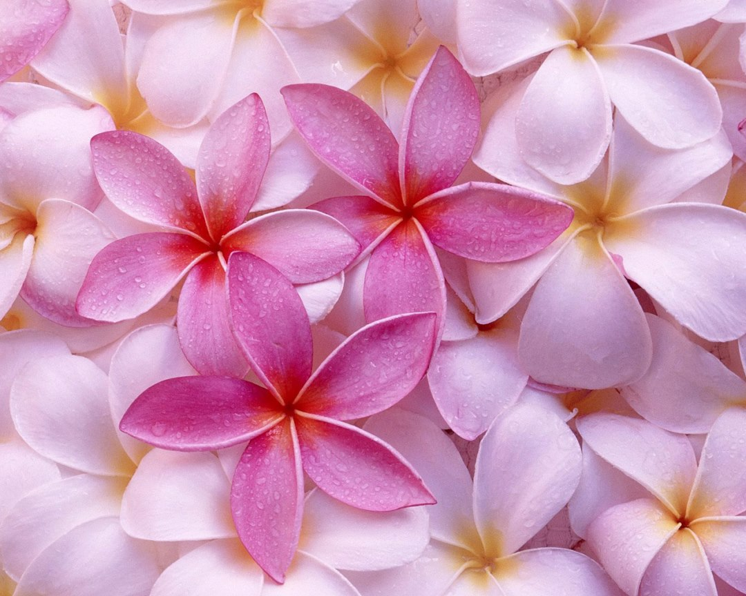Fresh Flowers HD Wallpapers Download for Desktop (1)