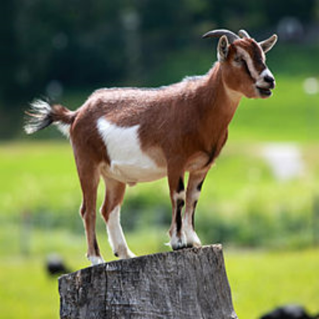 Goats HD Wallpaper 2015 (1)