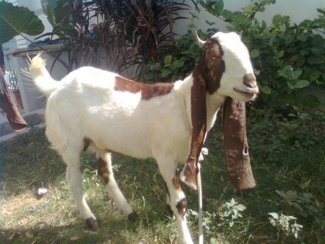 New Goat (Bakra) HD Wallpapers Pictures Images Photos Collection (14)