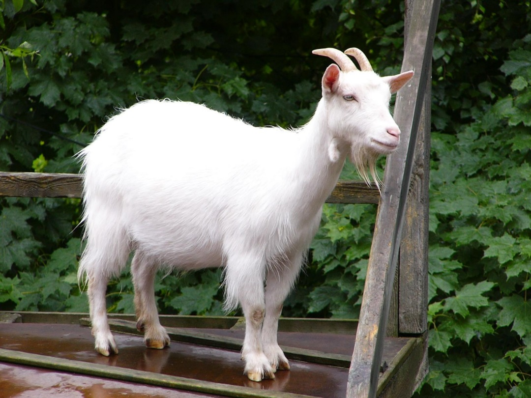Goats HD Wallpaper 2015 (3)