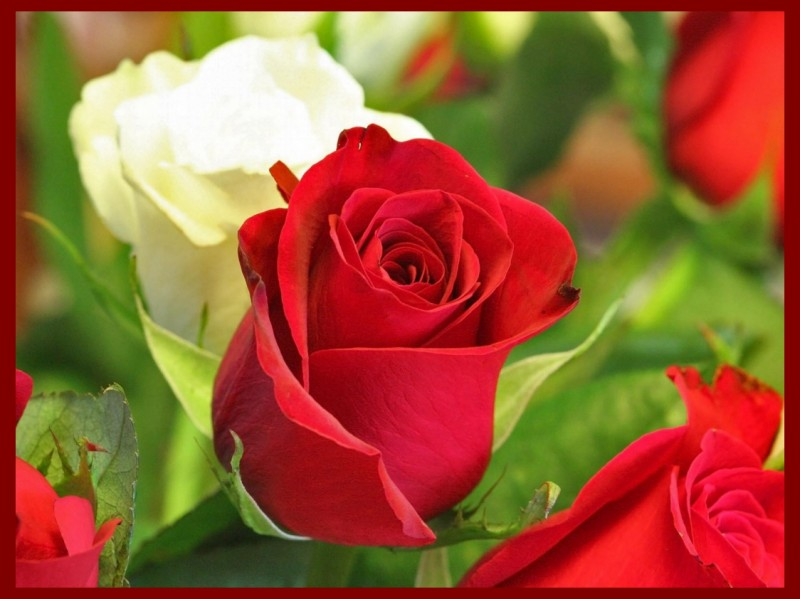 Happy valentine s day red rose