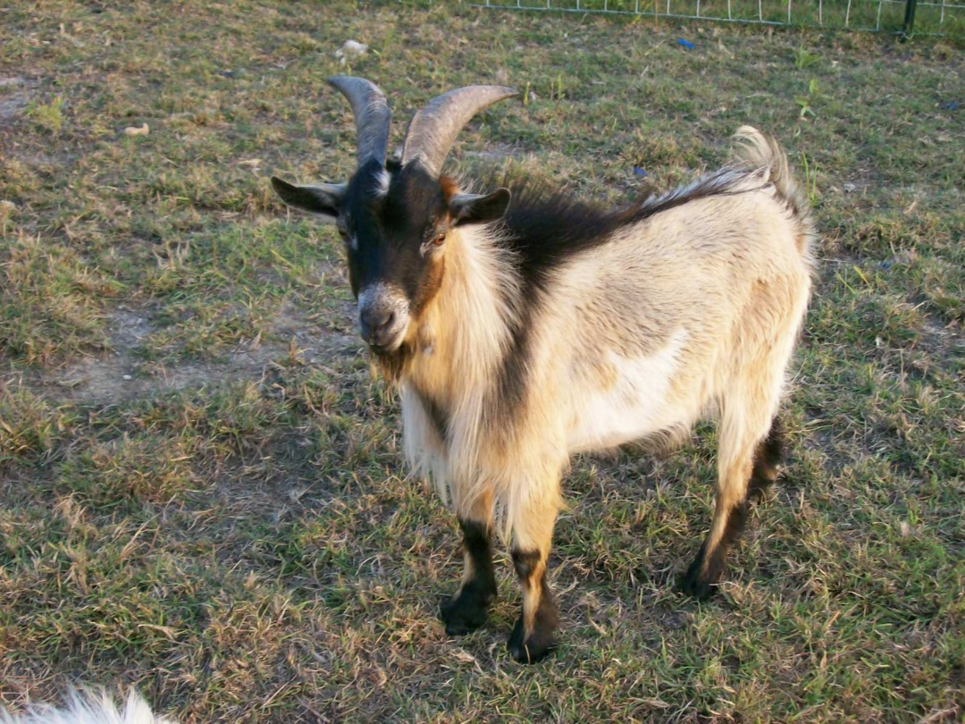 New Goat (Bakra) HD Wallpapers Pictures Images Photos Collection (15)