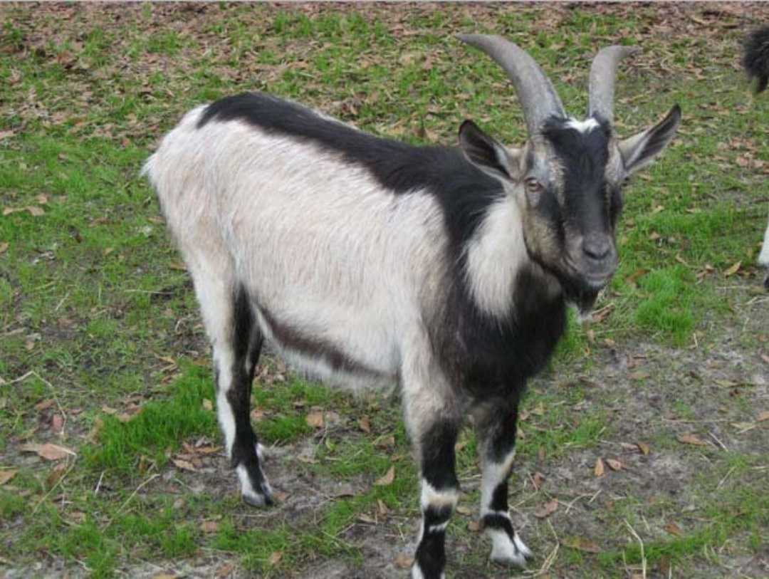 New Goat (Bakra) HD Wallpapers Pictures Images Photos Collection (6)