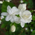 pictures of jasmine flowers