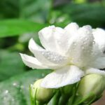 images of jasmine flowers