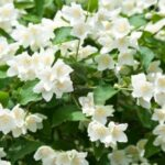 jasmine flower HD