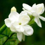 jasmine flower photo 2015
