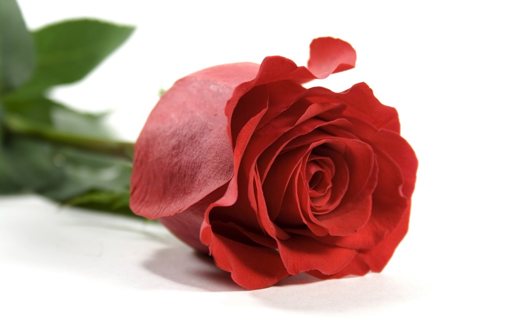 latest red rose flower wallpaper  new hd wallpapers pictures free, Beautiful flower