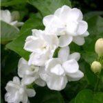 pictures of jasmine flowers