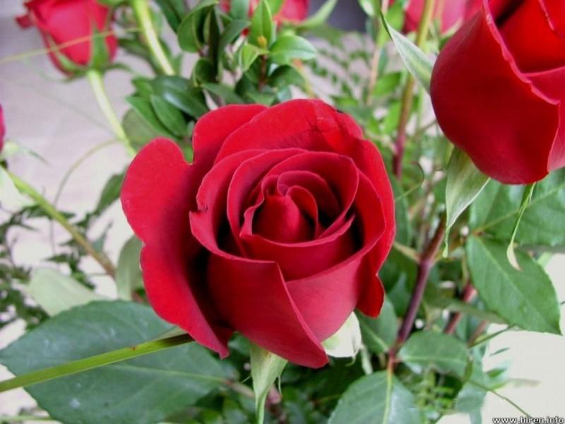 Beautiful flower wallpaper Rose Photos Images free for Desktop | HD ...