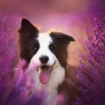 Border Collie hd dog pictures