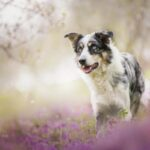 Latest Collie Dog Wallpaper Pictures