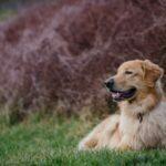 Best Golden Retriever Dog Photos