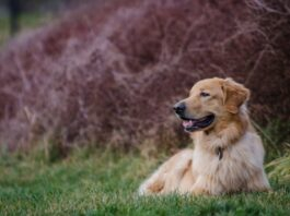 Best Golden Retriever Dog Photos