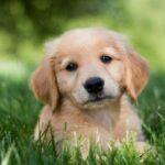 Cute Retriever Puppy Wallpaper