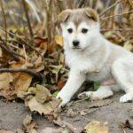 Cute Husky Puppy Wallpaper pet images