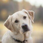 Famous Labrador Dog Face HD Wallpaper