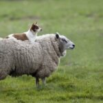 Sheep Dog Animals walls