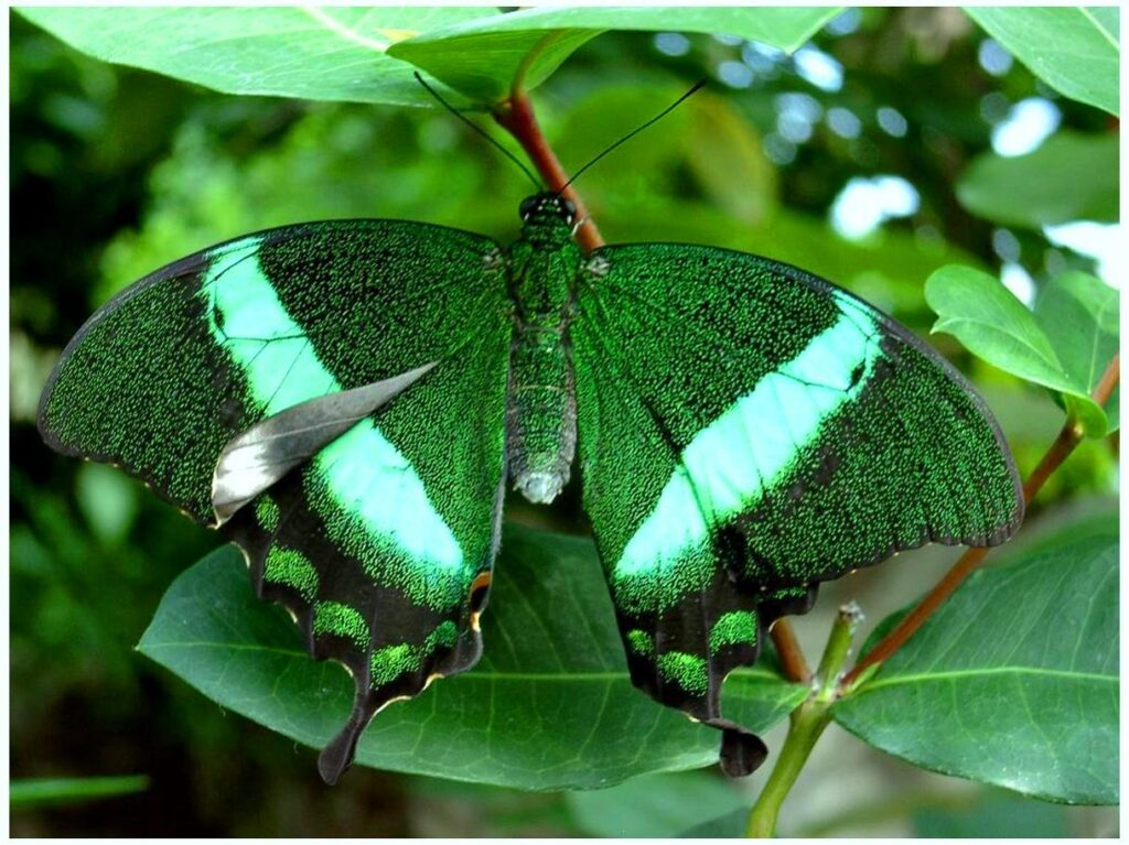 Butterfly Pakistan flag HD photos images