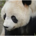 The Endangered species panda Pictures info