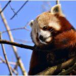 The cute Giant panda endangered