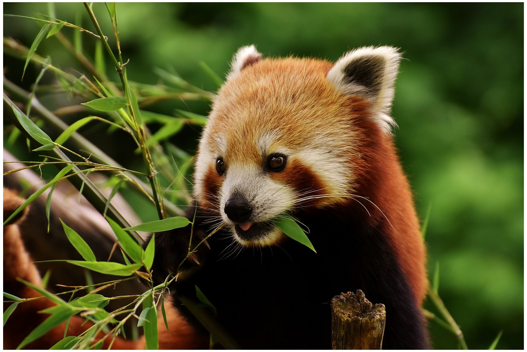 The favorite food of Giant panda information