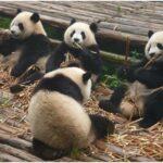 Group Panda extinction eating food