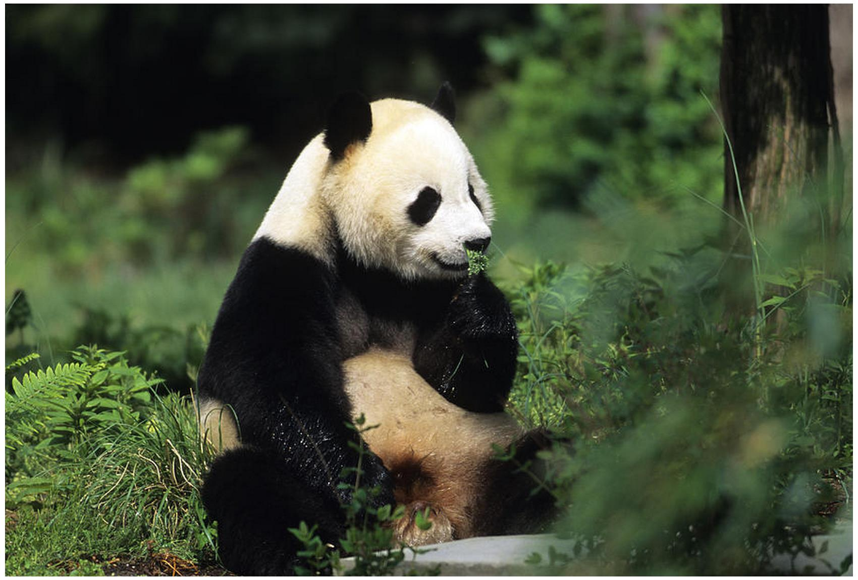 Panda bear Photos Pics