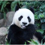 Panda in Not a wild Animal