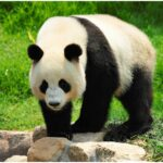 The giant panda on a stone