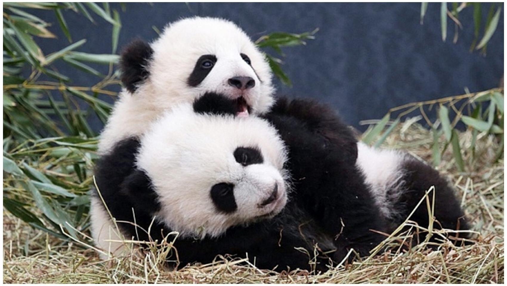 Two Loving Panda's Photos