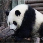 china panda photos