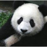 panda Cute Photos
