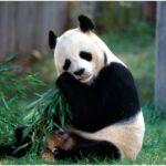 The animal panda bear beautiful animal pictures