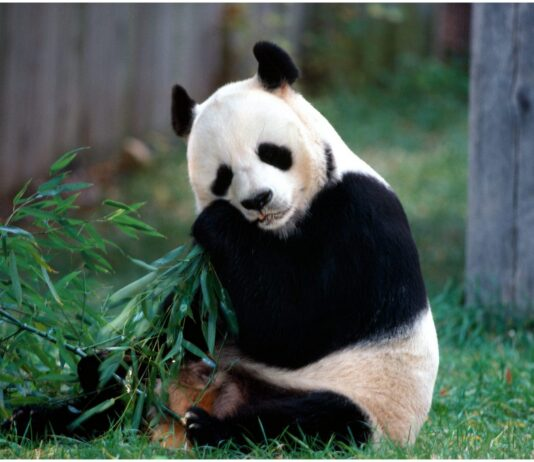 The animal panda bear beautiful animal pictures