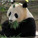 panda bear facts Info