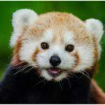panda chinese baby photos
