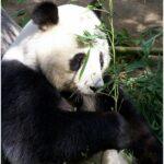 panda facts for kids eating bamboos