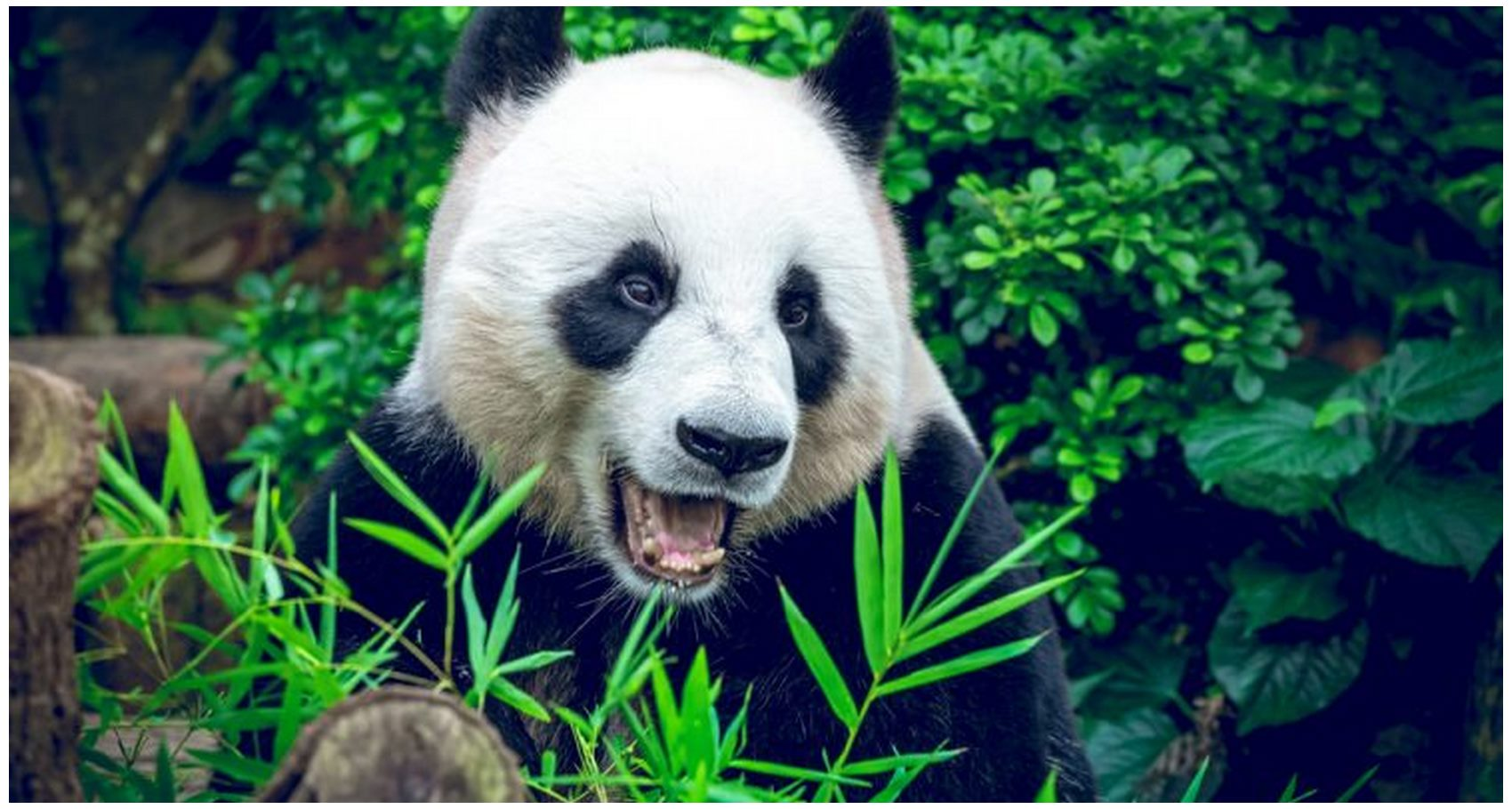 New panda information in Green Jungle
