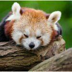 panda information wiki fact and detail