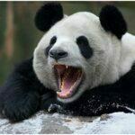 panda photos Smilling & Crying
