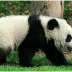 walk panda photos a lovely panda is walking