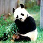 Beautiful white panda animal